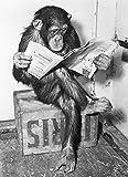 Close Up® Poster - Schimpanse liest Zeitung | Chimpanzee Reading Newspaper - Schwarz- Weiß (91,5 x...