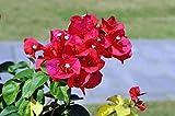 Bouganvillea Ms Butt Pianta in vaso di Bouganvillea Ms Butt - 5 Piante in vaso 7x7