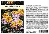 Seedeo Wandelrose (Lantana Camara) 35 Samen
