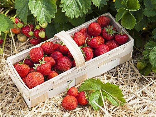 20 Reine des Vallées Erdbeerpflanzen (Walderdbeere)- Frigo Pflanzen - Immertragend - Pflanzzeit: März/April - Ernte: Juli bis Oktober - Erdbeerstecklinge - Erdbeeren von Erdbeerprofi.de