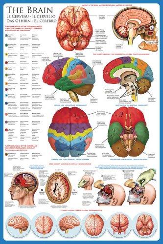 Empire - Poster educativo Il Cervello