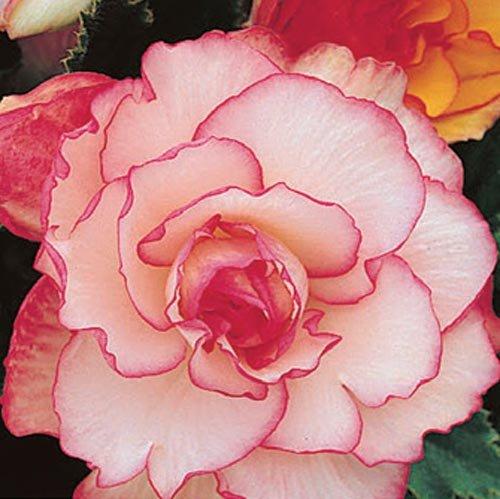 (3) Pink & White Picotee Begonias, Beautiful Pink & White Flowering Bulbs, Plants, Flower, Seeds,Bulbs,Plants,&More
