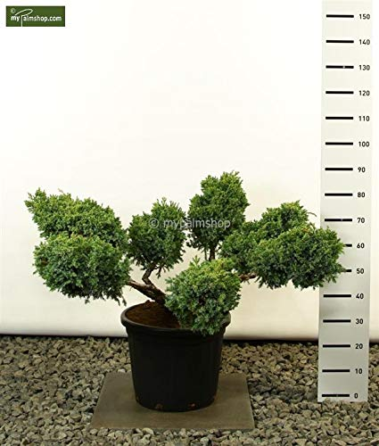 Modernes Formgehölz Zwerg Wacholder - Juniperus Squamata 'Blue Swede' Multiplateau+ - 125-150cm Topf Ø 40cm - 40 Ltr.