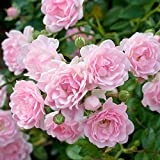 fiori rosa chiaro da giugno a ottobre ideale per le aiuole esposizione al sole in vaso spedizione gratuita
