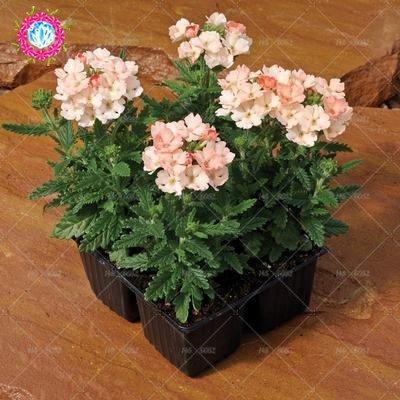 graines 100pcs Verveine seeds.Verbena HORTENSIS, graines de bonsaï rares fleurs Hanging plantes balcon intérieur fleurs pour le jardin de la maison 9