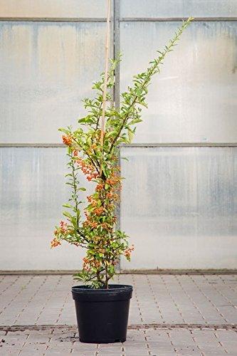 Feuerdorn Orange Glow, 100-125 cm, im Topf (7,5 Liter), Zierstrauch weiß blühend, Solitär Busch für Sonne-Halbschatten, Gartenpflanze winterhart, Pyracantha Orange Glow