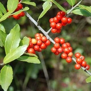 Yaupon Holly Bush Seeds (Ilex vomitoria) 25+Seeds