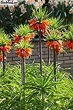 Bloom Green Co. Grosses soldes! Bonsai 200 pcs/paquet Imperial Rouge Jaune Couronne fritillaire impÃriale Lutea facile à cultiver jardin au sol couvert vÃgÃtal