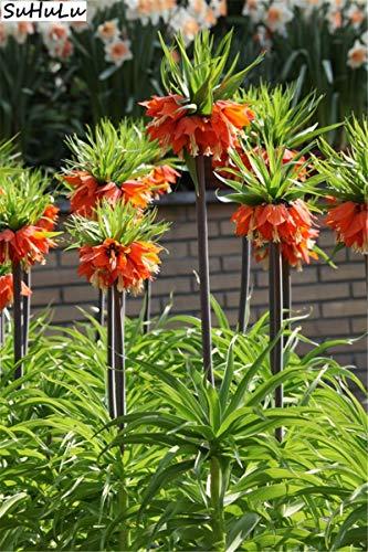 Bloom Green Co. Grosses soldes! Bonsai 200 pcs/paquet Imperial Rouge Jaune Couronne fritillaire impériale Lutea facile à cultiver jardin au sol couvert végétal