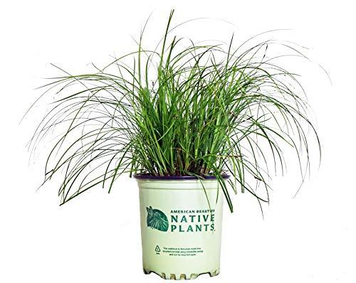 American Beauties Native Plants - Carex pensylvanica (Pennsylvania Sedge) Grass, green foliage, #1 - Size Container