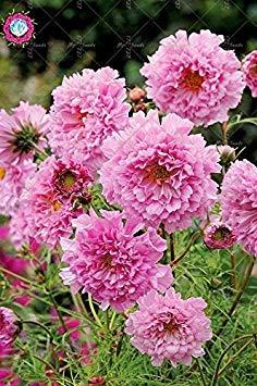 100pcs Rare Bonsai Double Cosmos Graines de fleurs vivaces plantes à fleurs en pot pour jardin Facile à cultiver 10