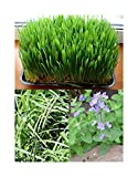 Katzengras Samen + Wiesenlieschgras Samen + Echte Katzenminze Samen - 3 Beutel