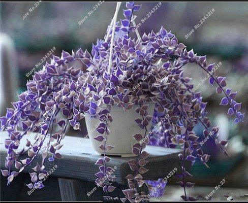 Plantes grimpantes des semences rares Parthenocissus tricuspidata semences jardin plantes ornementales Four Seasons Fleur 60 Pcs / sac 23