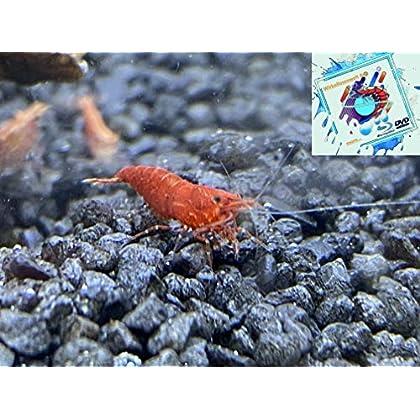 Topbilliger Tiere Red Fire Garnele – Neocaridina davidi 10x