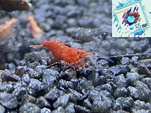 Topbilliger Tiere Red Fire Garnele – Neocaridina davidi 10 Stück
