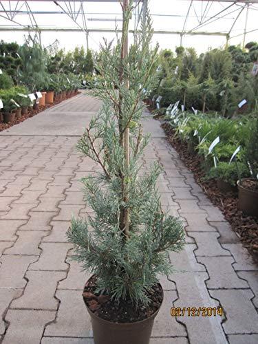Juniperus scopulorum Wichita Blue -...