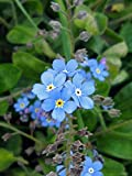 Himmelblaues Wald-Vergissmeinnicht (Myosotis sylvatica) 600 Samen