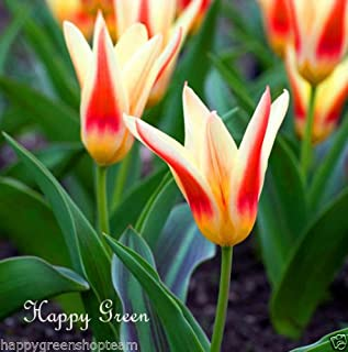 kaufmanniana tulip bulbs