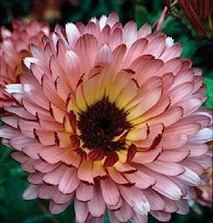 Risalana 40+ Calendula Triangle Flashback Flower Seeds/RE-Seeding Long Lasting Annual