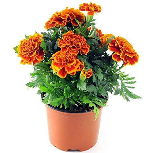 Marigold Sparky Flame Flower Seeds-50pcs Tagetes Patula pour Home Garden Outdoor Yard Farm Planting