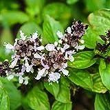 Outsidepride Tulsi Holy Basil Ocimum Tenuiflorum Medicinal Herb Plant Seed - 1000 Seeds