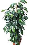 Zimmerpflanze für Wohnraum oder Büro - Ficus Benjamina - Grüne hängende Birkenfeige, 80 cm hoch - JETZT REDUZIERT