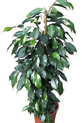 Plante d'intérieur - Plante pour la maison ou le bureau - Ficus benjamina - Figuier pleureur panaché, hauteur environ 80 cm - PRIX EN BAISSE