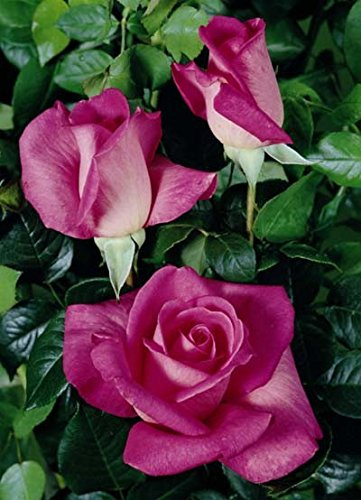 'Lady Like' -R-, Duft-Edelrose im 4 L Container