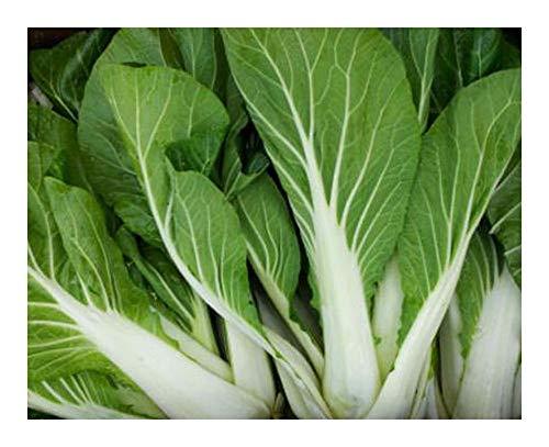 Brassica rapa - Chou chinois pak choi blanc - 20 graines