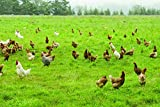 Intermountain West Poultry Pasture Blend (1500 sq ft)