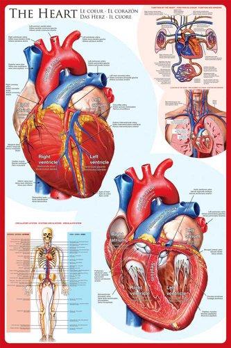 Educational - Bildung Das Herz - The Heart Bildungsposter Plakat Druck - Maxiposter Version in Englisch - Grösse 61x91,5 cm