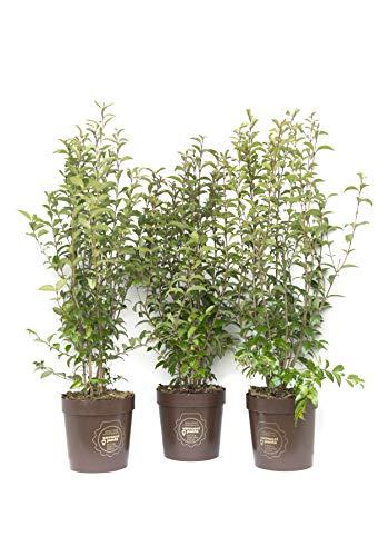 Ligustrum japonicum, Ligustro del Giappone, Cespuglio Pianta vera in vaso Vannucci Piante, Pianta da terrazzo (cod. 6) (3x)