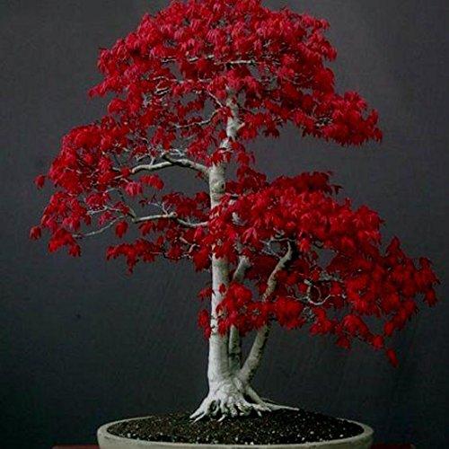 50pcs Pink Japón arce Semillas Semillas Bonsái de jardín de embellecimiento Novel de plantas Semillas