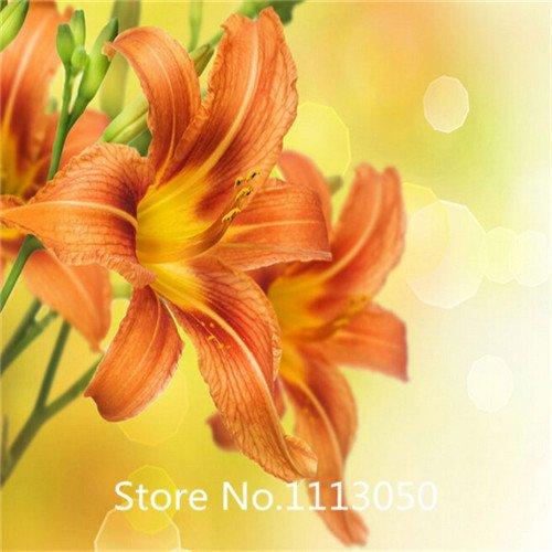 Promotion Lilie Samen Hemerocallis Primal Schrei Samen Hemerocallis Fulva Tag-Lilie Orange Blumensamen Bodenbedeckung Pflanzen Neu