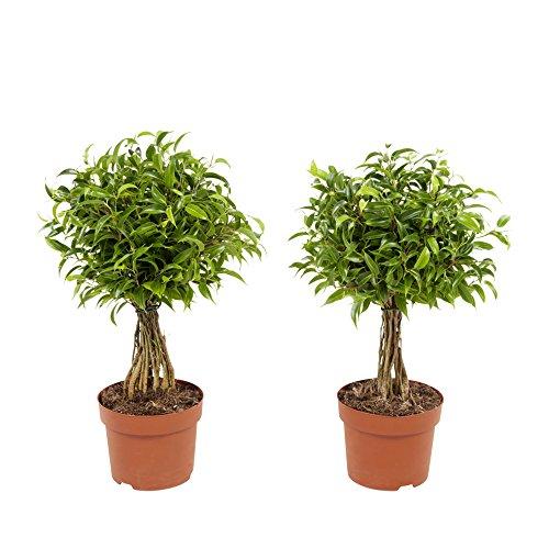 Piante da interno da Botanicly – 2 × Fico Benjamin – Altezza: 30 cm – Ficus benjamina Babilatos