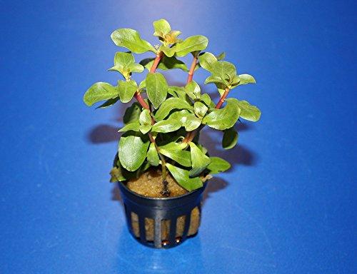 WFW wasserflora Kleine Cognac Pflanze/Ammania senegalensis (Ammannia)