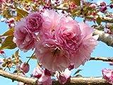 2 Kwanzan Flowering Cherry Tree