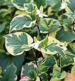 *2er-Set - winterhart - Houttuynia cordata 'Chameleon' - Houttuynie - Eidechsenschwanz weiß, buntlaubig - Wasserpflanzen Wolff