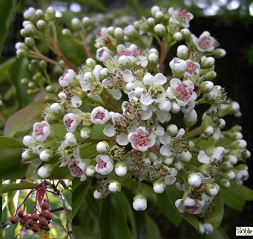 Lorbeermispel-Funkenblatt - Photinia davidiana-Stranvaesia davidiana