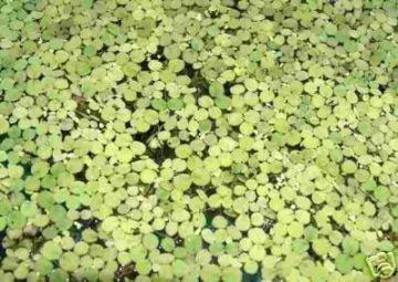 3 Porción Lenteja de agua Aprox. 1000 pcs. Lemna minor