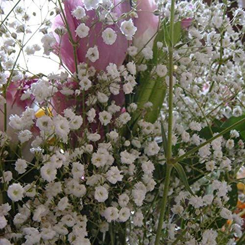 XINDUO Mehrjährig Blumen,Landschaftspflanze Xia Gras Gras Blumensamen-500 Kapseln,Blüten Saatgut mehrjährig