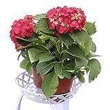 semi di fiori di ortensia rossa 20 pezzi perenni biologici freschi facili da coltivare piante semi di fiori per piantare giardino da giardino all'aperto al coperto
