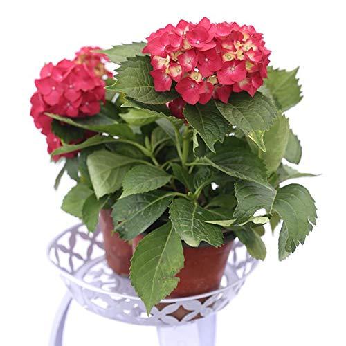 Rote Hortensie Blumensamen 20 Stück mehrjährige Bio-Frisch einfach zu züchtende Pflanzen Blumensamen zum Pflanzen Yard Garden Outdoor Indoor