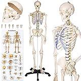 <span class='highlight'><span class='highlight'>TecTake</span></span> Human skeleton anatomical model life size - different models - (Human skeleton | No. 400502)