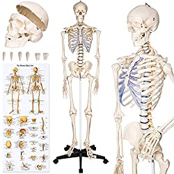 human medical skeleton for sale