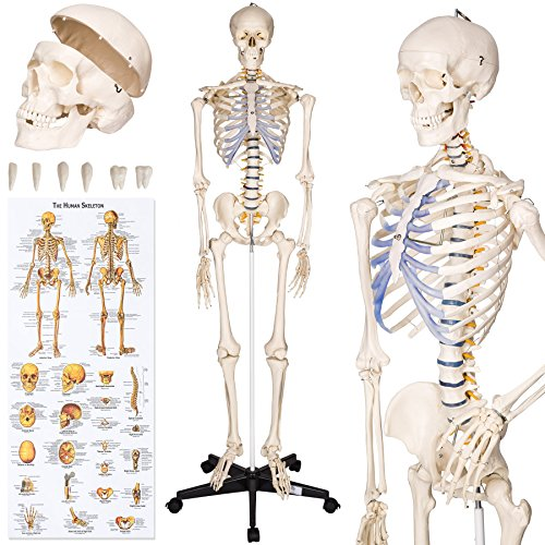 TecTake Human skeleton anatomical model life size - different models - (Human...