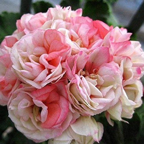 Qulista Samenhaus - 10pcs Selten England Stehende Geranie 'Appleblossom' Balkonpflanzen Blumensamen winterhart mehrjährig, Hit in Balkonkästen, Kübeln und Beeten