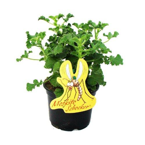 Exotenherz - Moskito-Schocker - Duftgeranie, 3 Pflanzen Pelargonium crispum - Ideal zum vertreiben von Mücken und Wespen