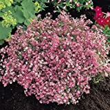 RarePink Gypsophila Baby's Breath for Bees and Butterflies, Easy Grow...