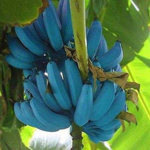 ZqiroLt 200Pcs Blue Banana Tree Samenpflanze Delicious Fruit Garden Farm Planting Decor Blaue Banane, Zierpflanze, Hohe Keimrate Einfach Zu Pflanzen Bananensamen
